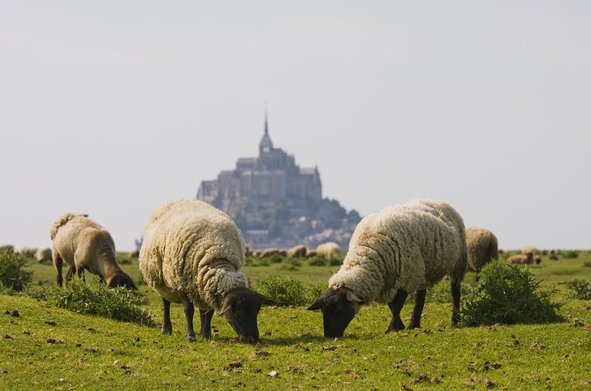 ILL. Moutons de pres sales